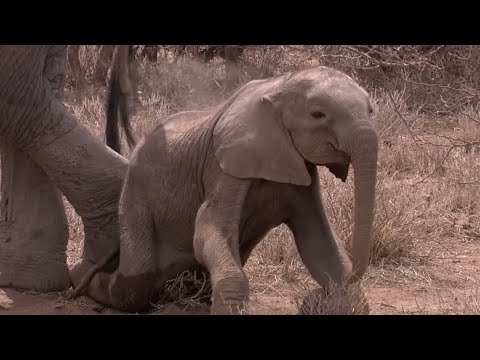 Elephant Calf Starves To Death Due To Drought | Africa | BBC