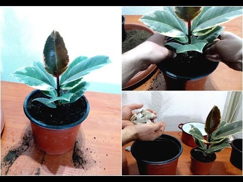 How to care and replanting Ficus elastica