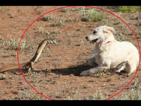 Dog attacks a lizard & pays the price!!!