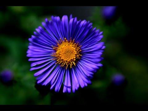 blue flower - blue flower names