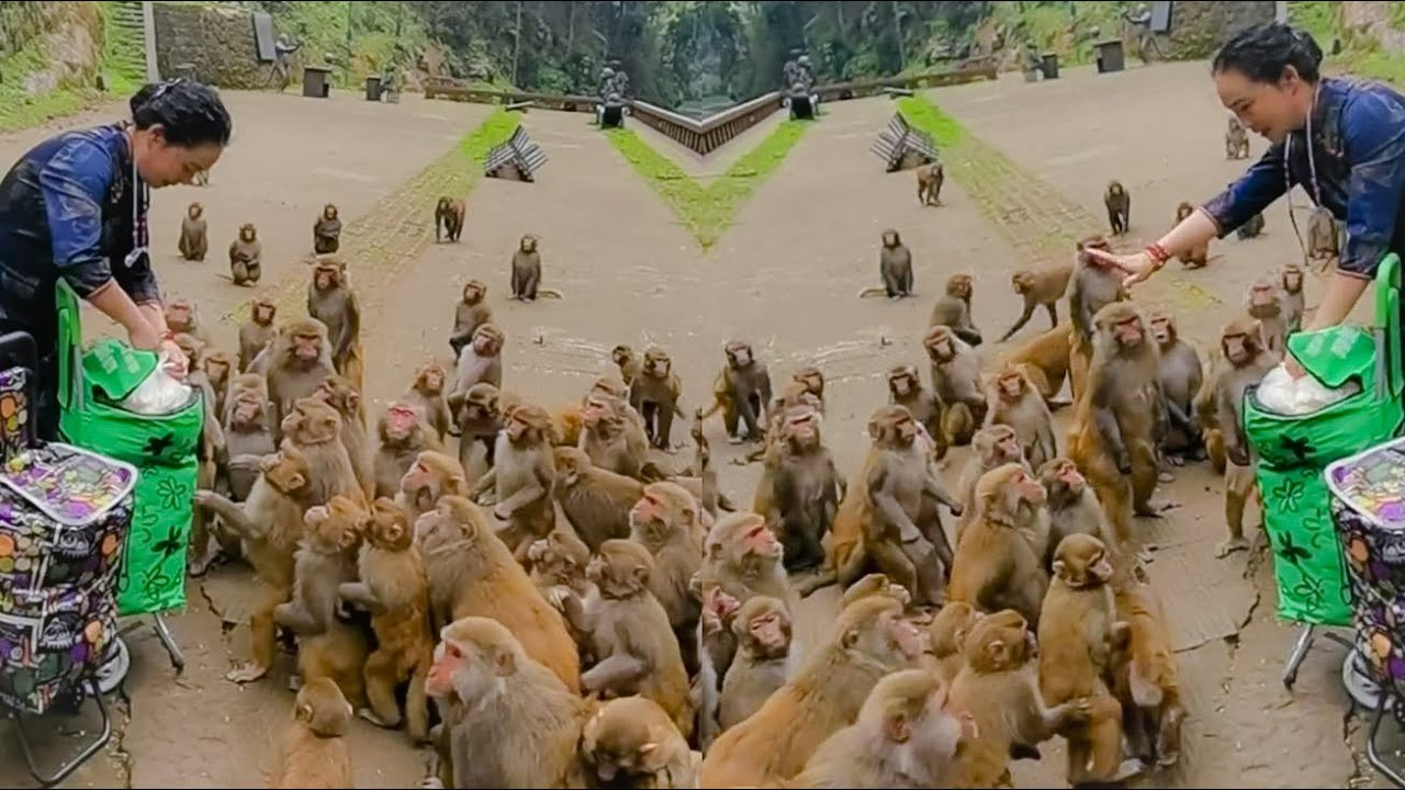 Thank You For Monkeys Lover That Bringing Some Food For Hungry Monkeys