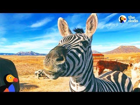 Rescued Zebra Is The Best Babysitter - MYSTERY the Zebra | The Dodo