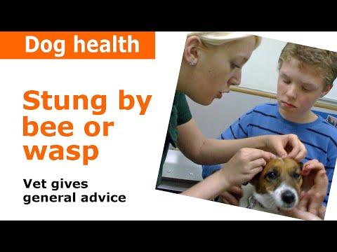 Dog stung by bee - Vet advice