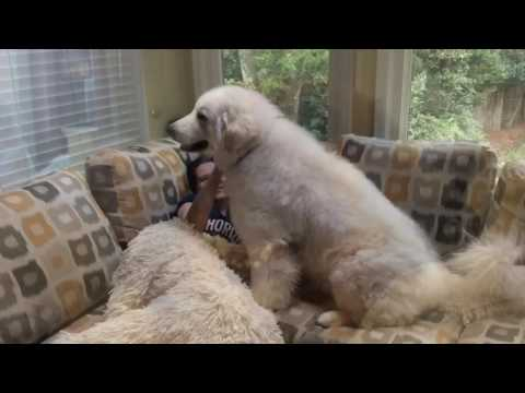If I Could Change Your World.  Kuvasz and a rescue (temperament with family)