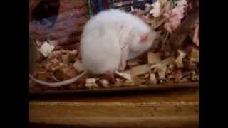 Mouse Cleaning Himself