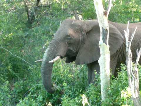 Elephant rips down 35 foot tall fever acacia tree - Zulu Nyala