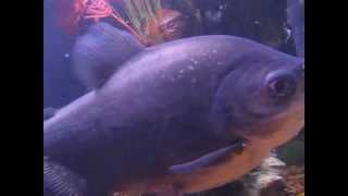 My Huge Red Bellied Pacu Fish That Look Like Piranha