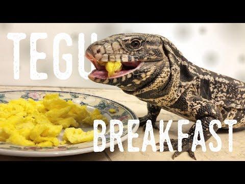 Feeding my Argentine Tegu Scrambled Eggs!
