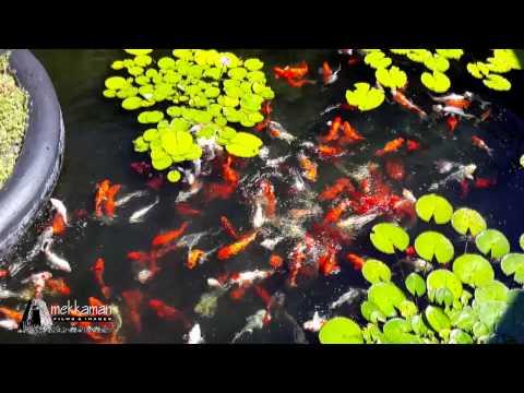 Koi Pond at Feeding Time