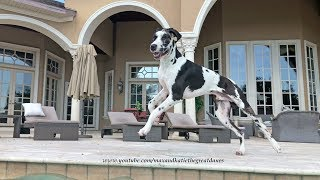 Download Excited Great Dane Puppy Runs Around the Pool Video