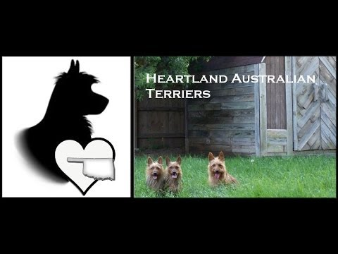 Heartland Australian Terriers Live Stream