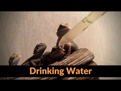 How to Give a Baby Bearded Dragon Water.