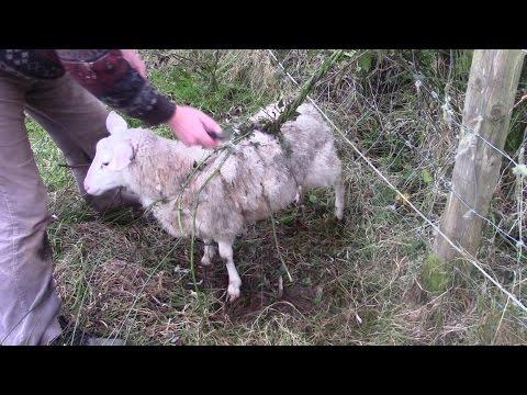 World's Biggest Carnivorous Plant Catches Whole Sheep!