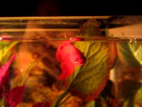 Betta Fish Fin Rot Info and how to cure