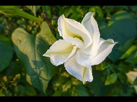 How to Grow MoonFlower from Seeds!