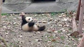 Cute Alert! Angry baby panda: Don