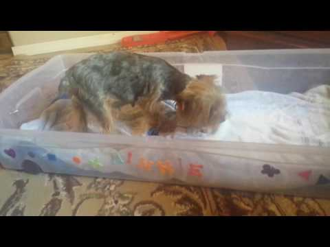 Whelping box for yorkie