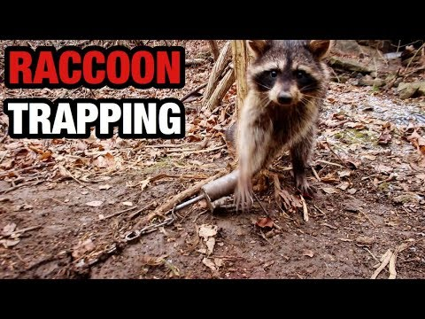 Small Raccoon Trapline with Dog Proof Traps 2018