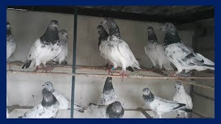 Best High Flying Pigeons Loft & Best breeding high flying pigeons day activity (BD birds video)