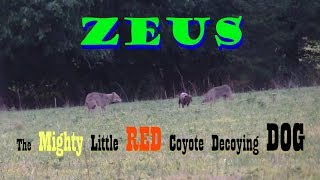 Download COYOTE HUNTING-ZEUS-The Mighty Little RED Coyote Decoying DOG Video
