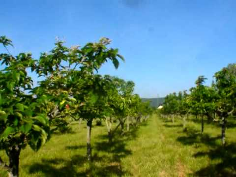 growing pear wine