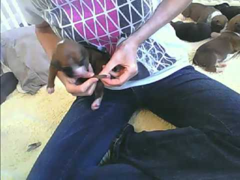 Desensitizing 2 week old puppies to nail trimming and handling
