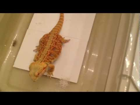 Bearded dragon prefers dubia roaches over crickets