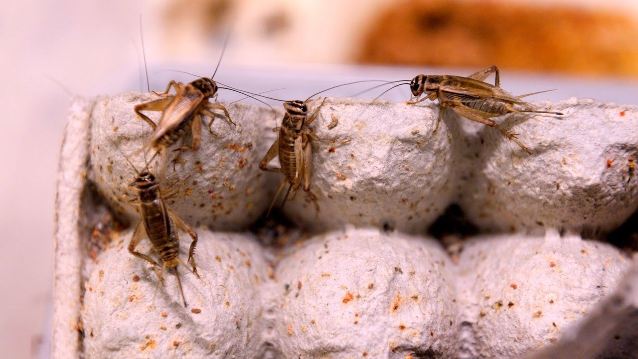 CSIRO report on edible insects demonstrates the 'wacky priorities' in Canberra