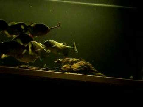 piranha eating dew worms