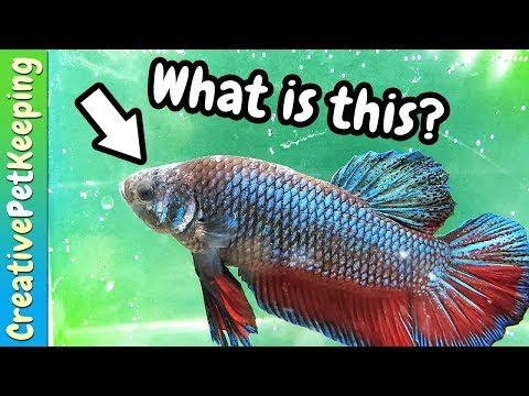 Mysterious betta fish skin disease | Daily Vlog Week #2