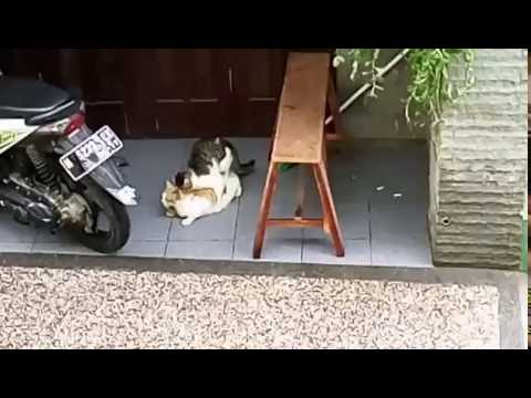 cat mating with cute screaming female cat