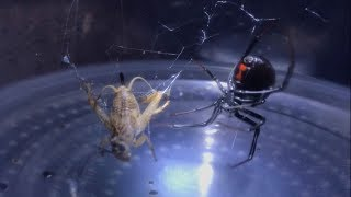 Download NEW! BLACK WIDOW SPIDER FEEDING! [HD] - 1 OF 4 Video