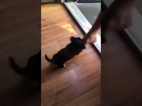 Puppy attacking toes