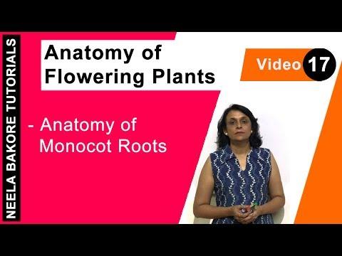 Anatomy of Flowering Plants - Anatomy of Monocot Roots