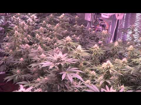 Quick update - Day 31, Plushberry, Sour Bubble & more.