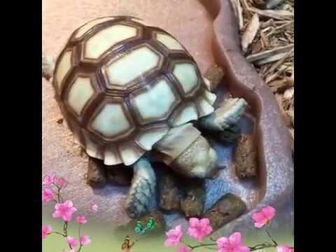 Sulcata baby eat Mazuri Tortoise LS Diet