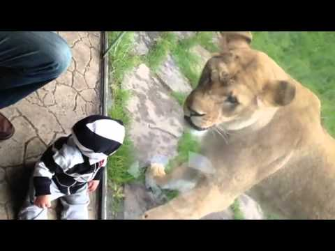 Lion tries to eat baby PART 2