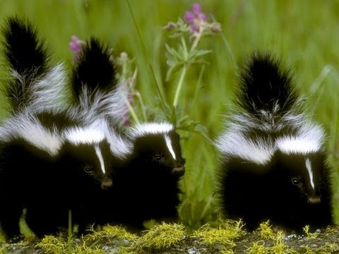 Keep skunks out with Paprika