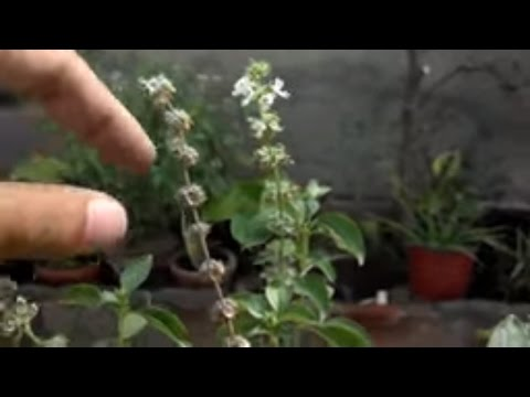 How to Collect Basil Seeds | Herbs Basil | Basil Leaves Benefits | Basil  Medicine (Urdu/hindi)