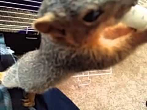 Feeding Enthusiastic Baby Squirrel