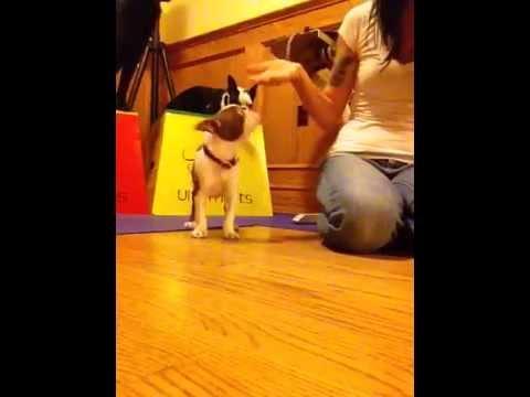 Pickles the Boston Terrier,  7.5 weeks!