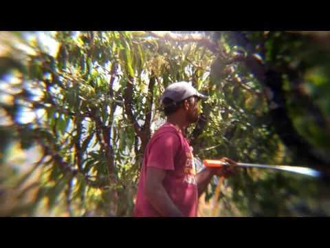 Spraying Mono crutofos on Mango tree's