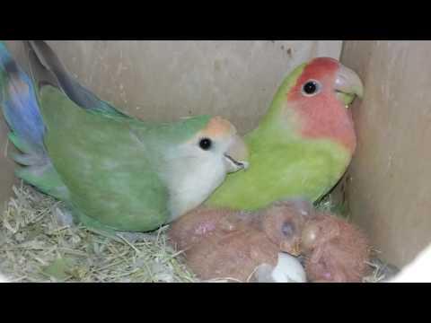 Lovebird pair keeping 1 week old babies warm ( www.TheBirdCagehouse.com)