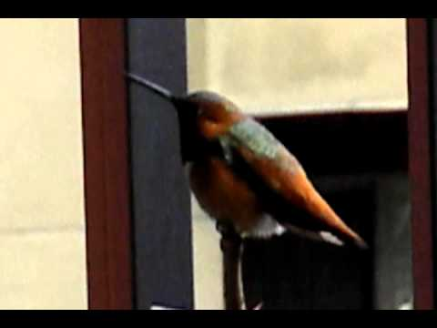 A wet Rufous Hummingbird seeks shelter from the storm