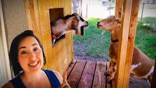🥰Fern's first date with the BREEDING BUCK! (miniature goat farm)