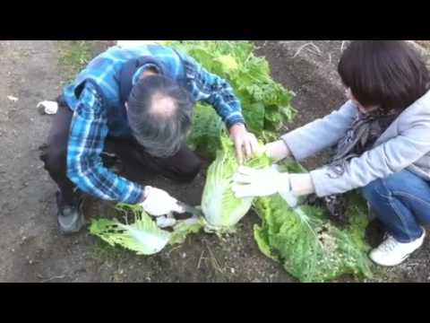 Cutting Chinese Cabbage