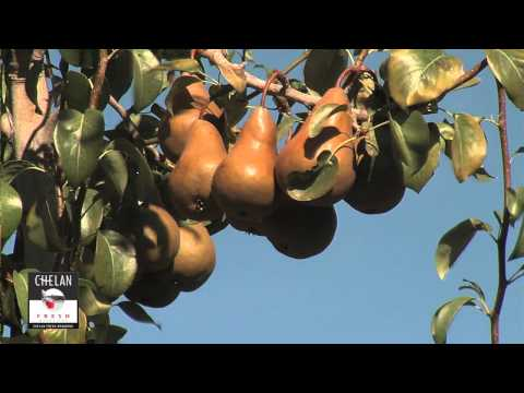 What are Bosc Pears