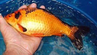 BUYING Baby Koi fish For My AQUARIUM