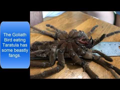 Goliath Bird Eating Tarantula Molt