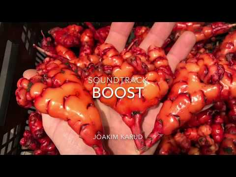 Harvesting oca (Oxalis tuberosa)